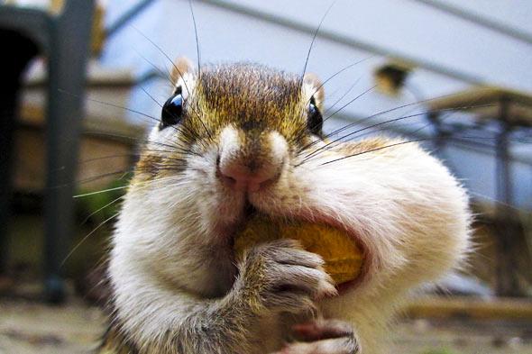 chipmunk-nut-mouth-penelope-590ds050610